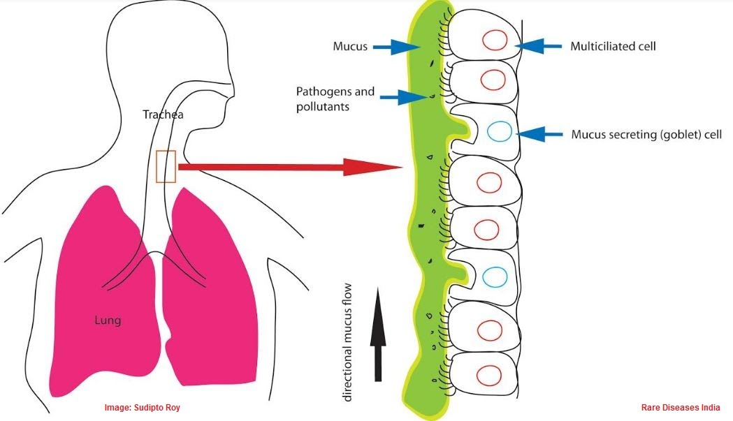 Respiratory System Diagram With Cilia House Wiring Diagram Symbols